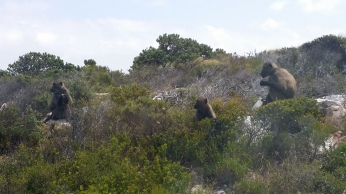 Cape Point Baboons